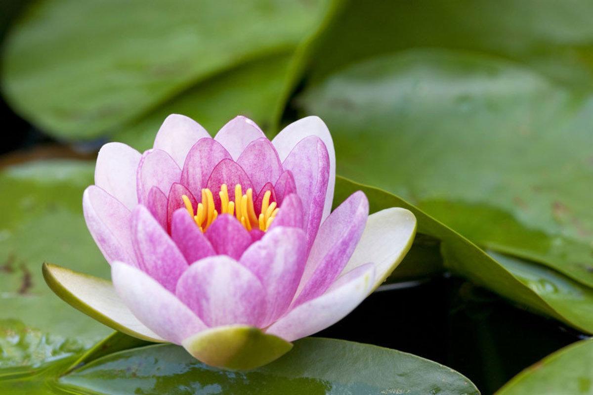macro view of a single pink blossom opening among green lily pads in a pond Additional Thumbnail