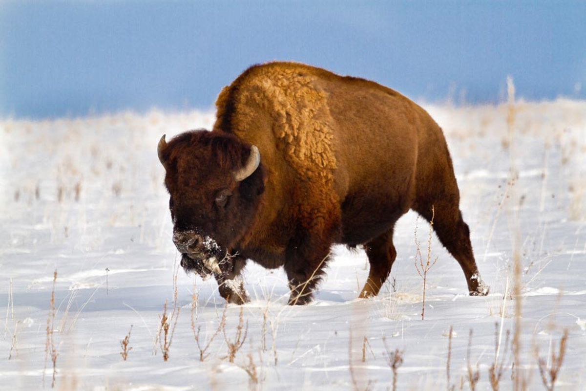 Image for American Bison, Antelope Island
