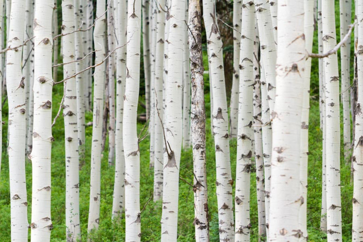 Colorado Aspen Forest Wall Mural Additional Thumbnail