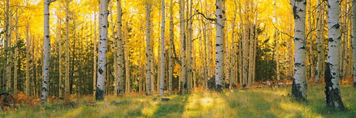 Aspen Trees In Coconino National Forest Mural Wallpaper Sample
