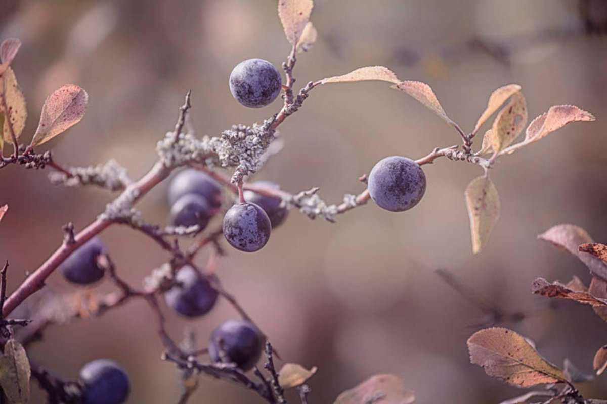 Image for Autumn Berries - Sepia