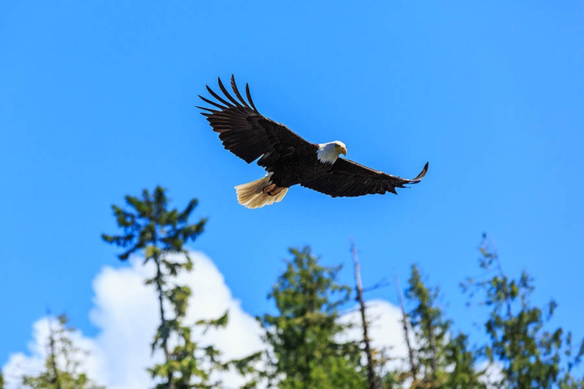 Bald Eagle Soar Mural Wallpaper Additional Thumbnail