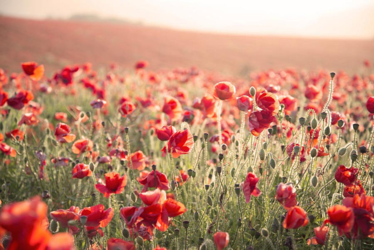 A beautiful poppy film under a stunning sunset sky in the summer