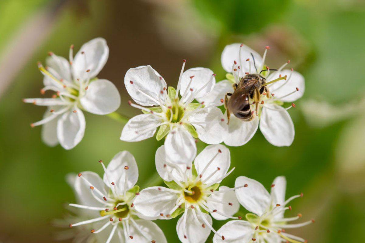 Bee collects nectar from white flower blossoms