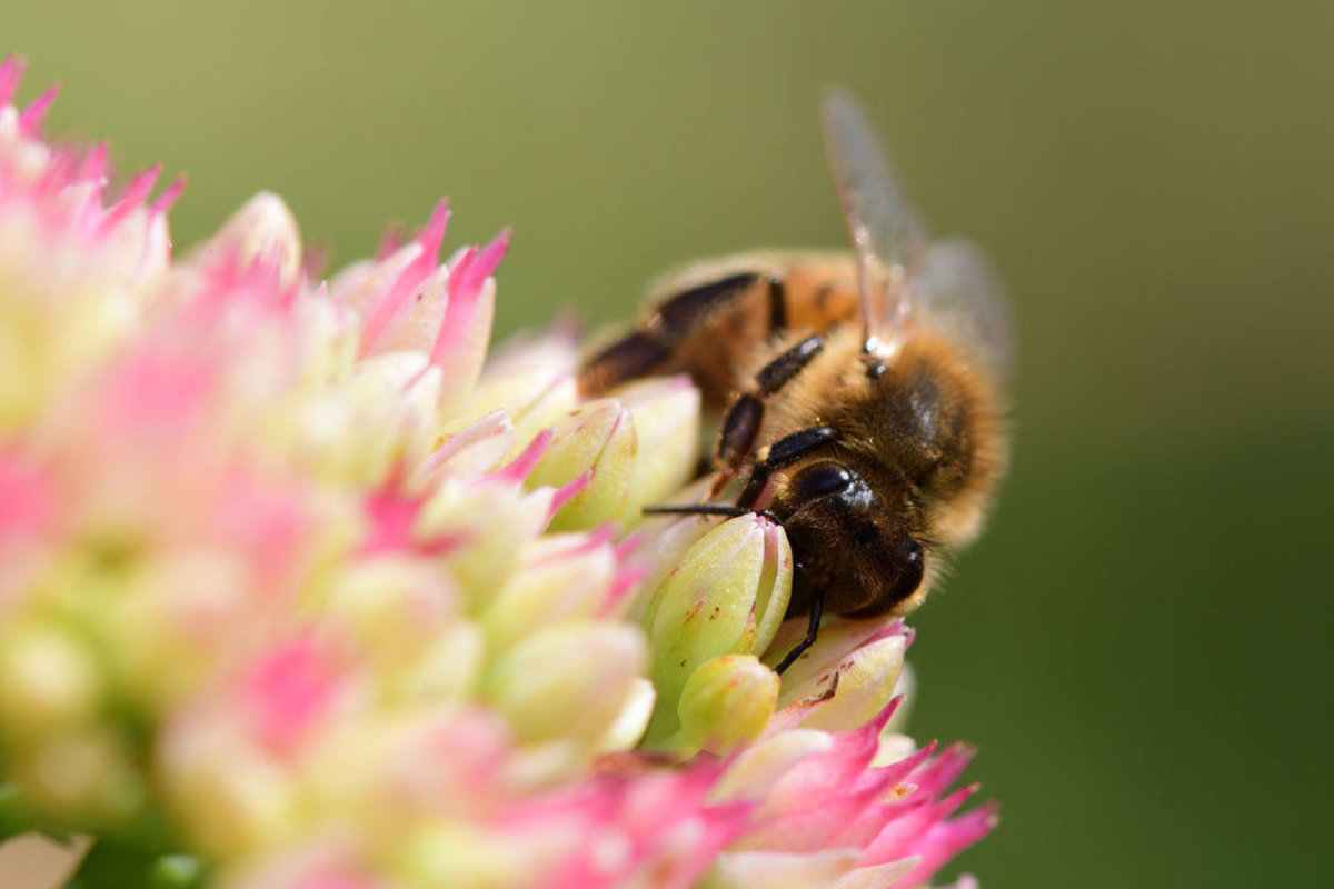 bumblebee pollinates a pink-colored sedum flower Additional Thumbnail