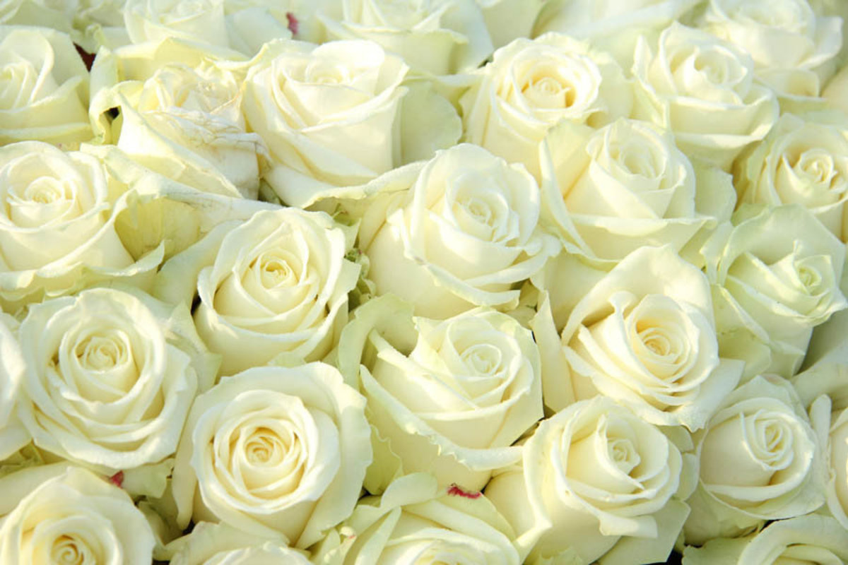 big beautiful flower bouquet of white roses Sample