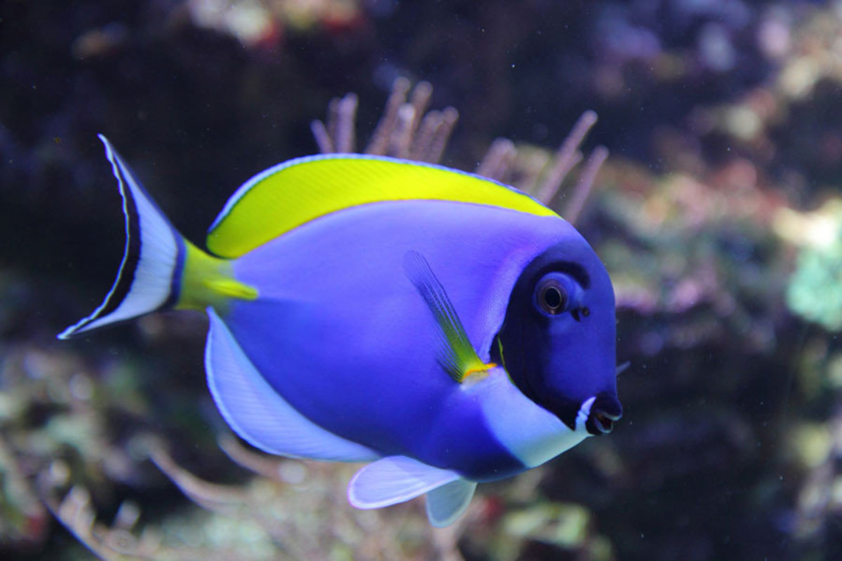 Blue and Yellow Tang Mural Wallpaper Sample