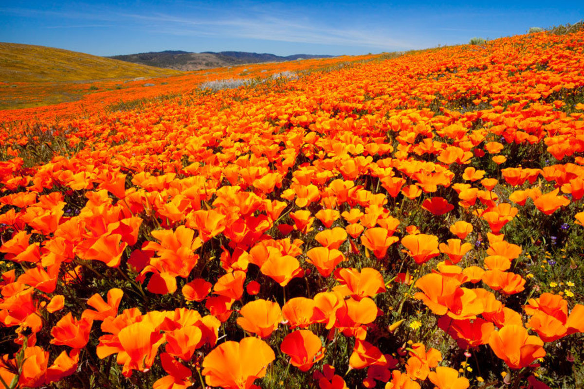 Bright orange Calirfornia Poppy flower field in super bloom located in Antelope Valley Sample