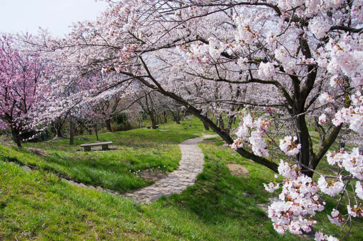 Lining the pathway are cherry blossom trees in full bloom Additional Thumbnail