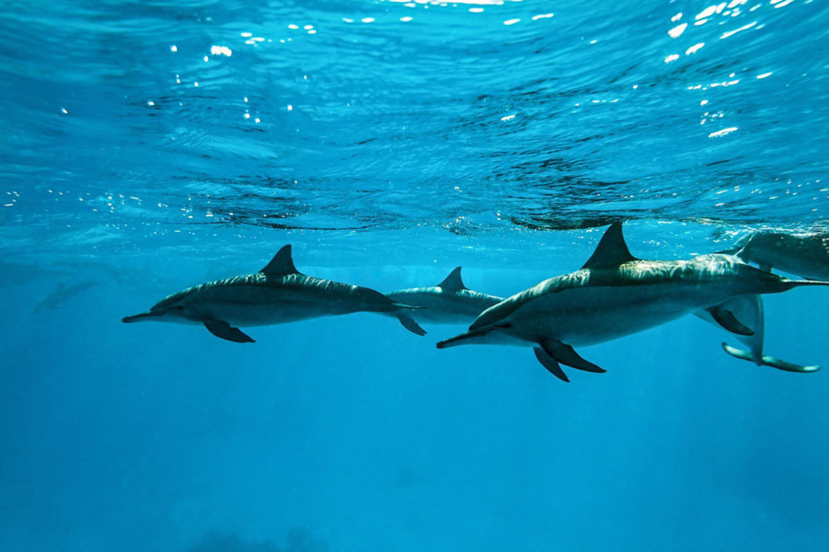 Dolphins in the Sea Wallpaper Mural Additional Thumbnail