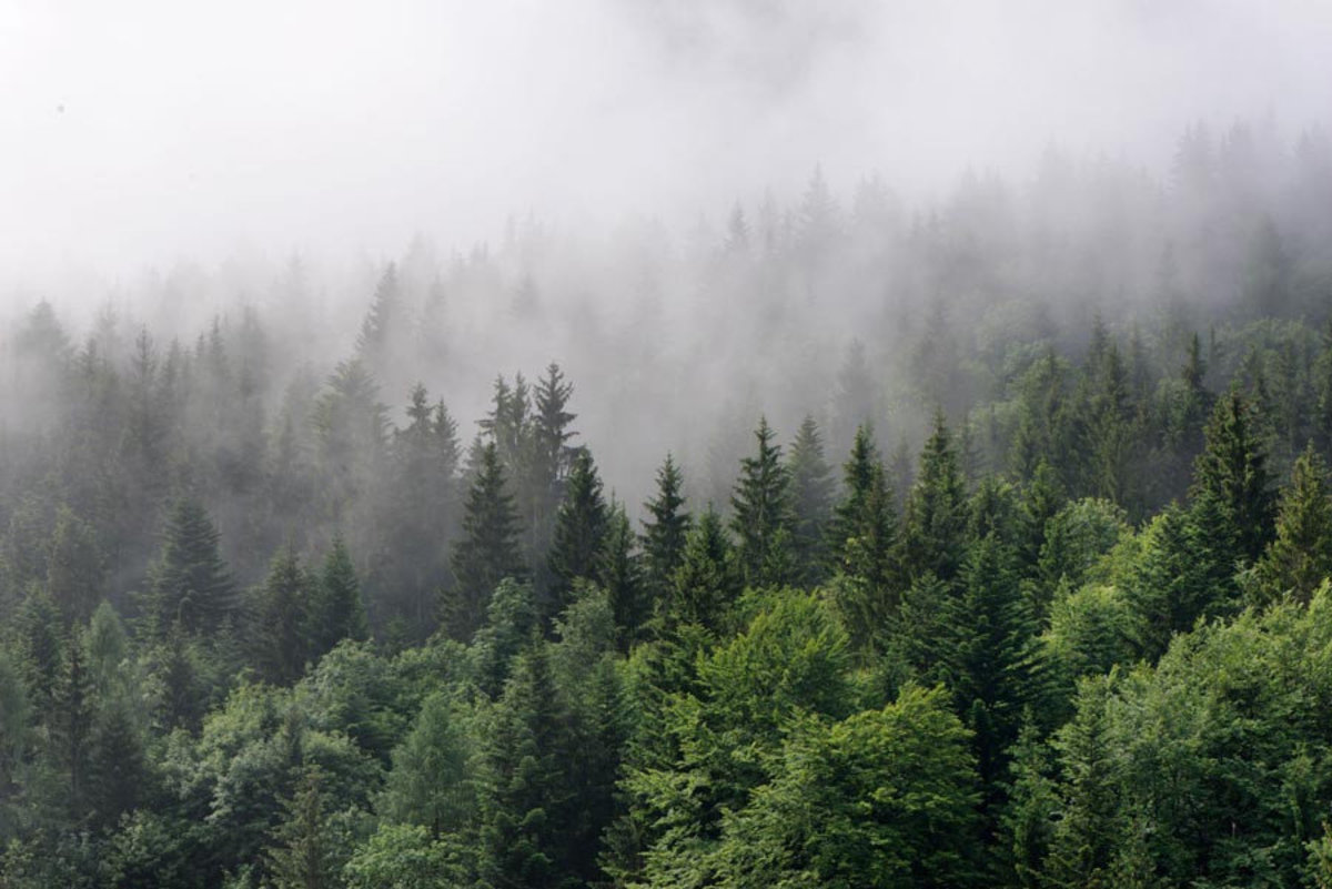 dense fog rolls in over a lush evergreen forest, covering the treetops Additional Thumbnail