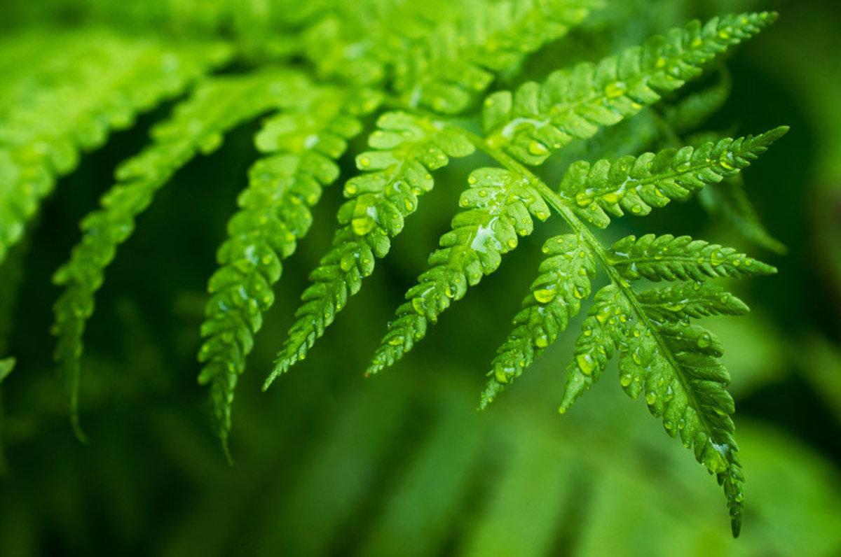 Fern Leaf With Water Drops Mural Wallpaper Sample