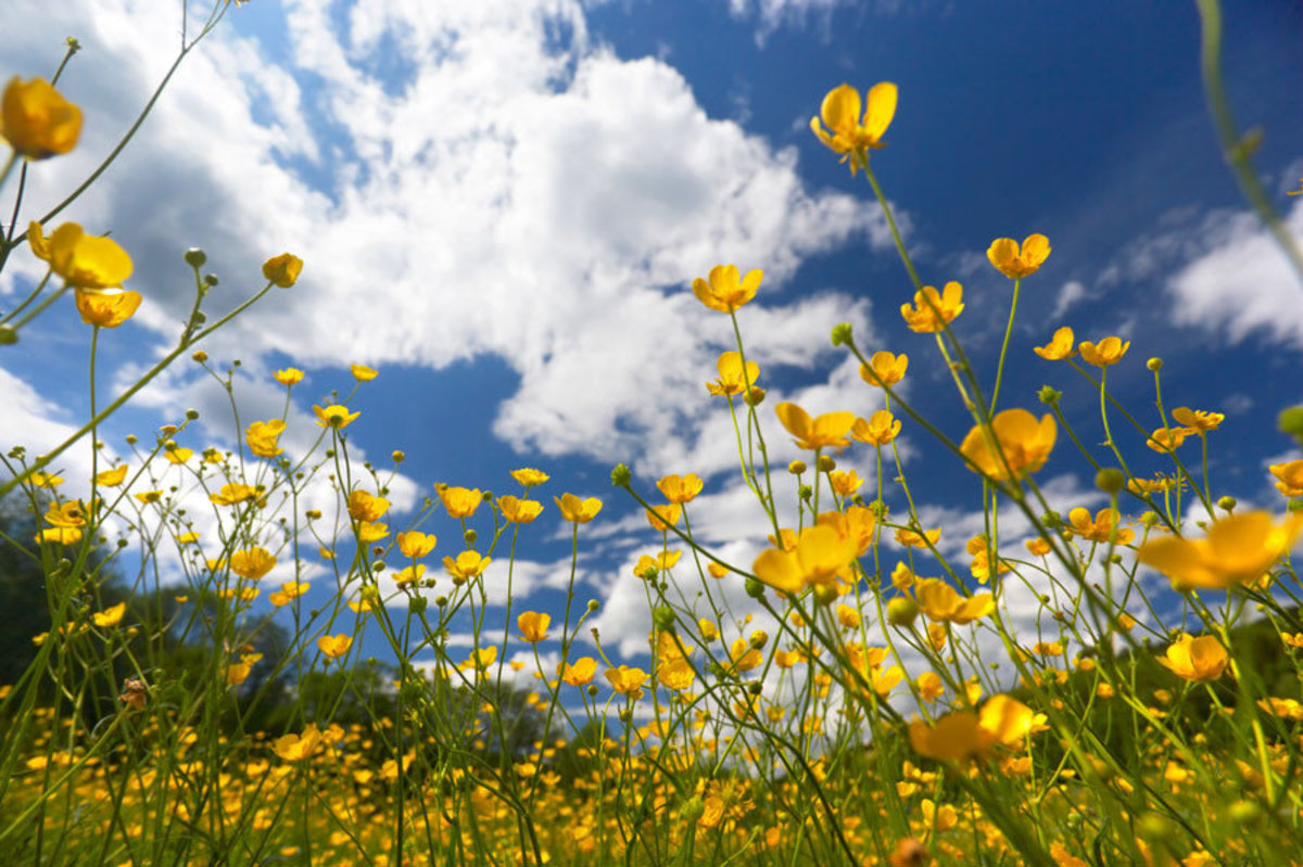 Field Of Yellow Flowers Wall Mural Sample