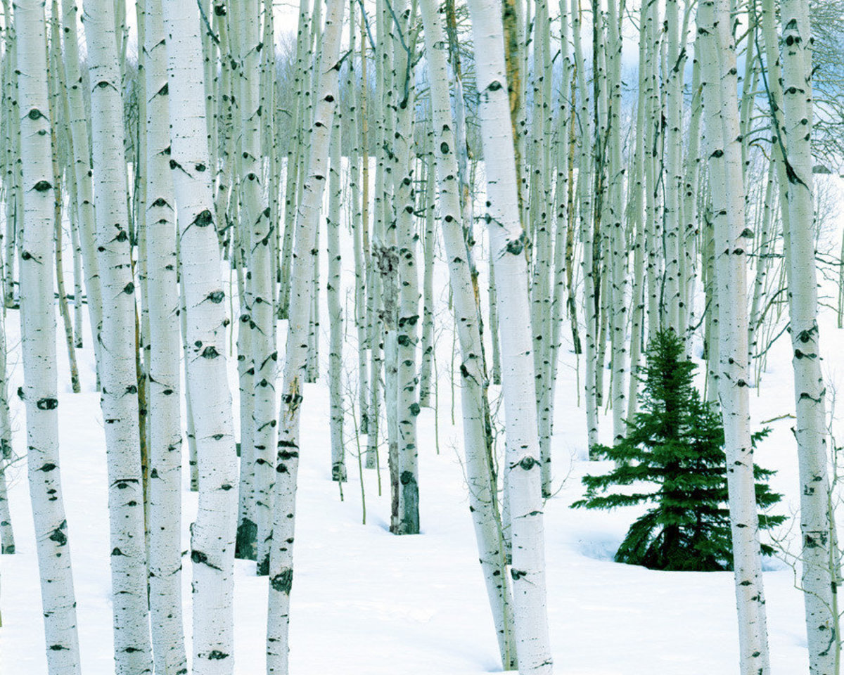 white tree trunks of aspen grove in winter with small fir tree