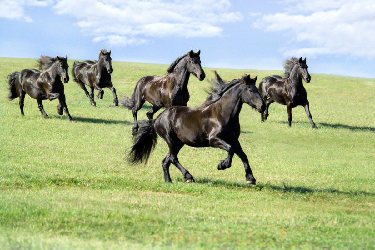 Image for Galloping Friesians