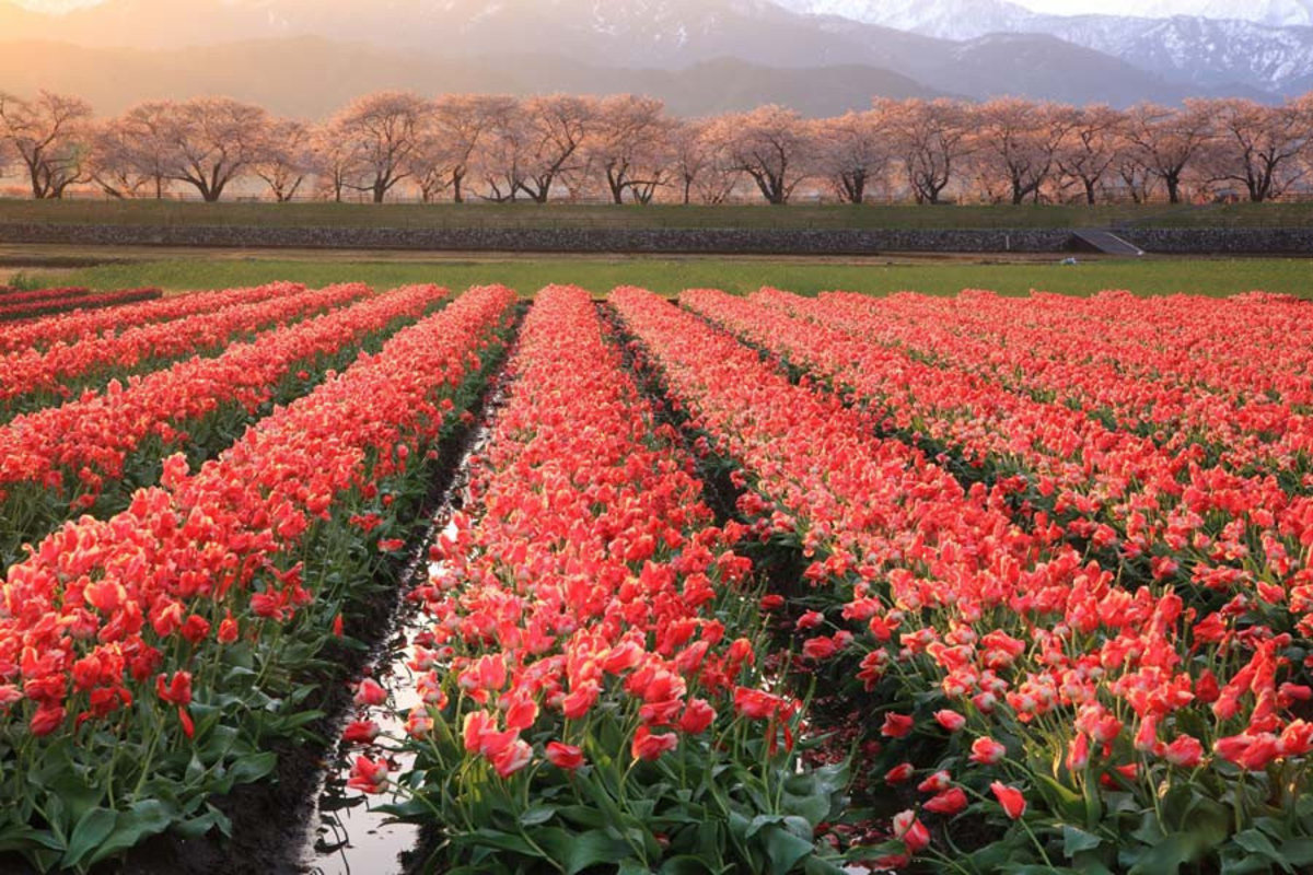 rows and rows of pretty pink tulips Sample
