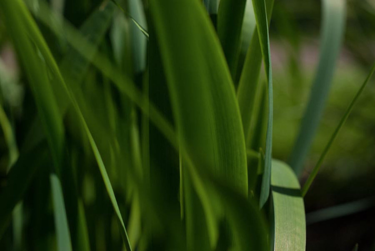 Image for Green Grass 1