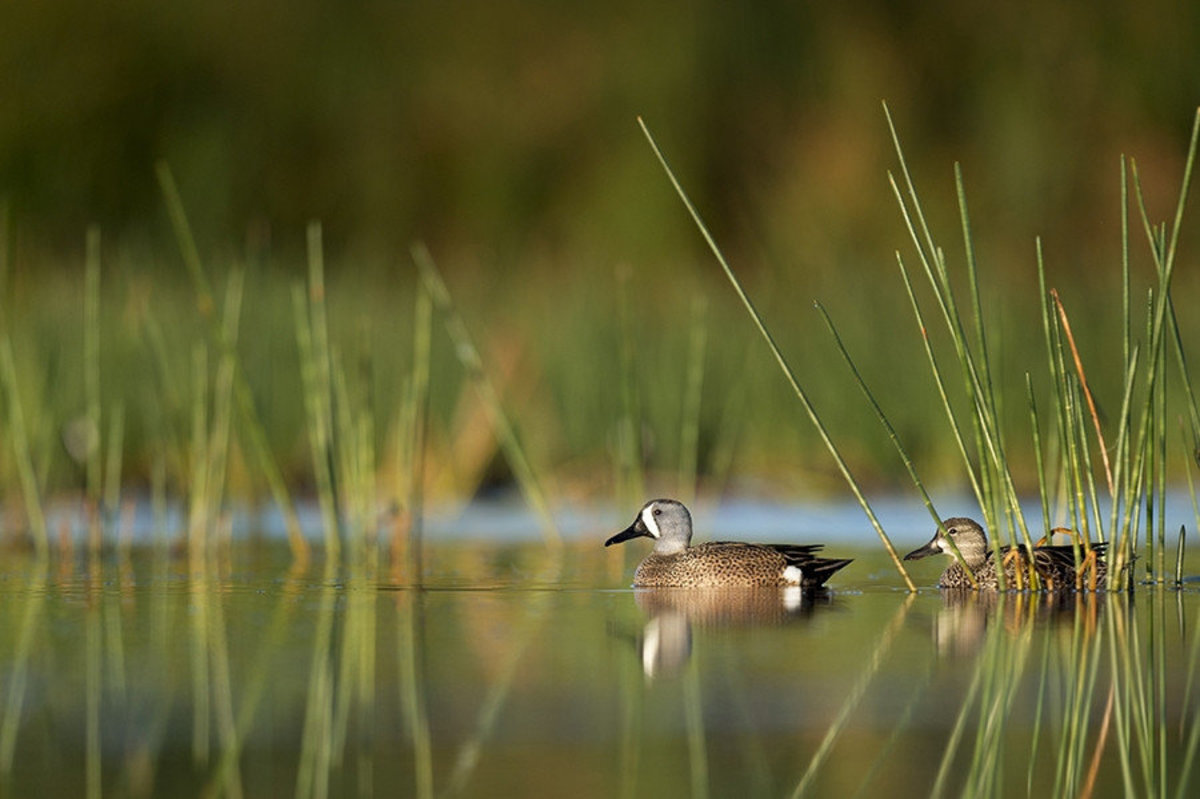 Image for Green-Winged Teal Pair wall mural