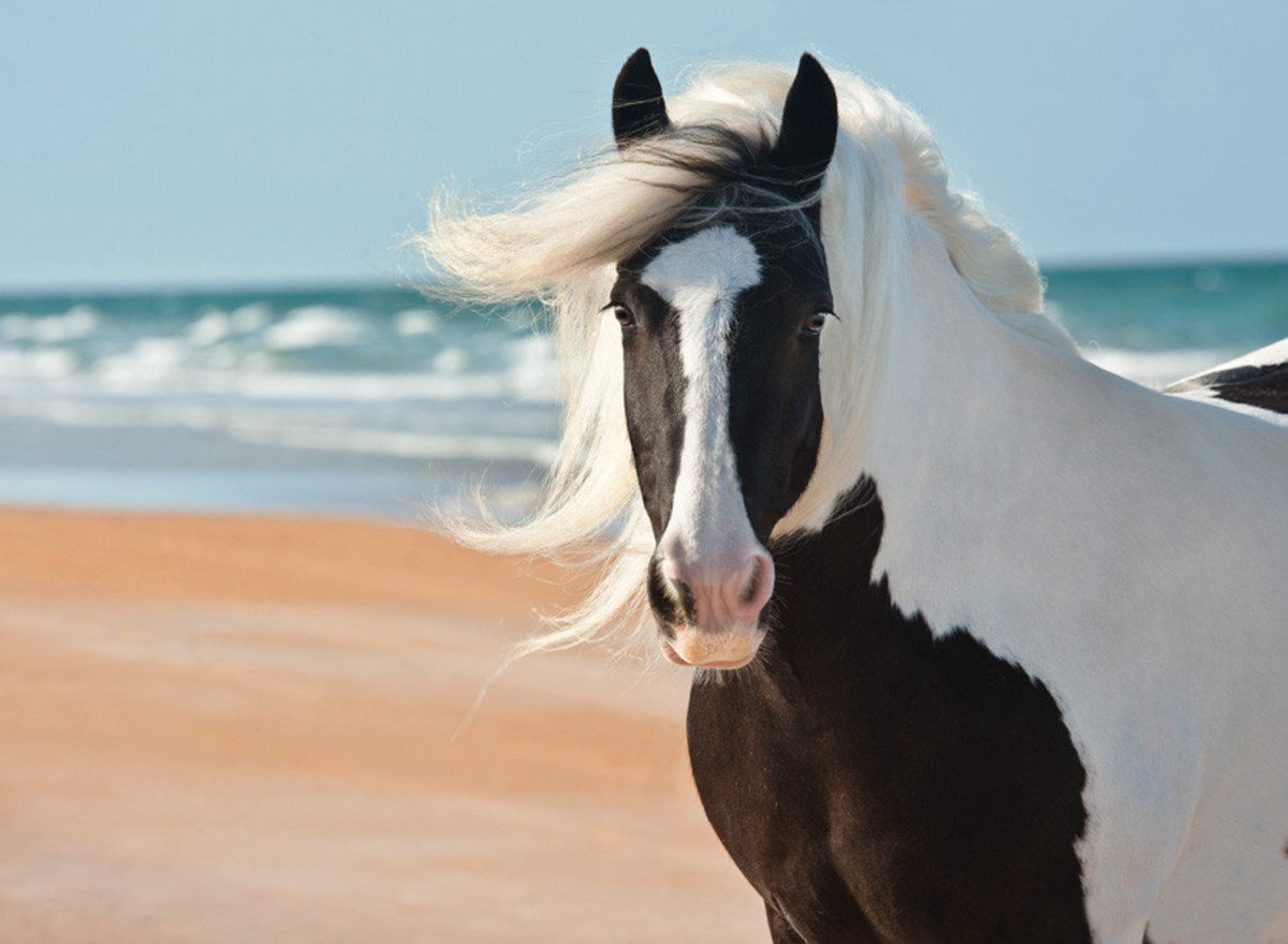 Image for Gypsy Vanner Mare at the Beach