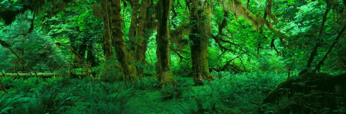 Hoh Rain Forest, Olympic National Park, WA 2