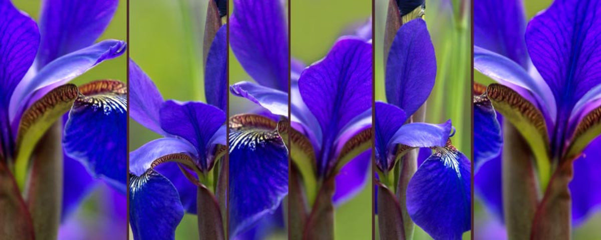 Image for Iris Abstract
