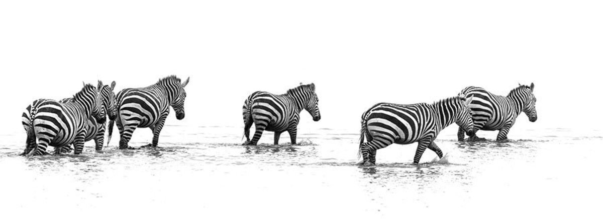 Migration of the Zebras Wall Mural Sample