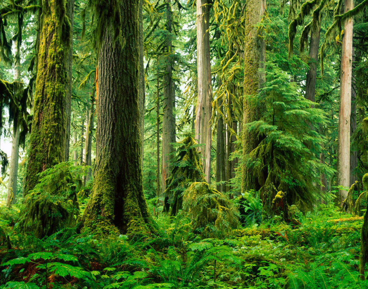 Old Growth Rainforest, Carbon River Valley Wallpaper Mural Additional Thumbnail