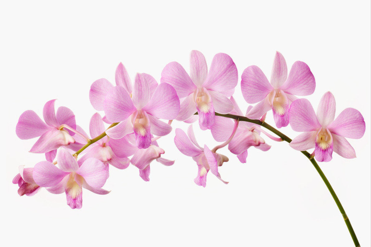 Orchid I Wall Mural Sample