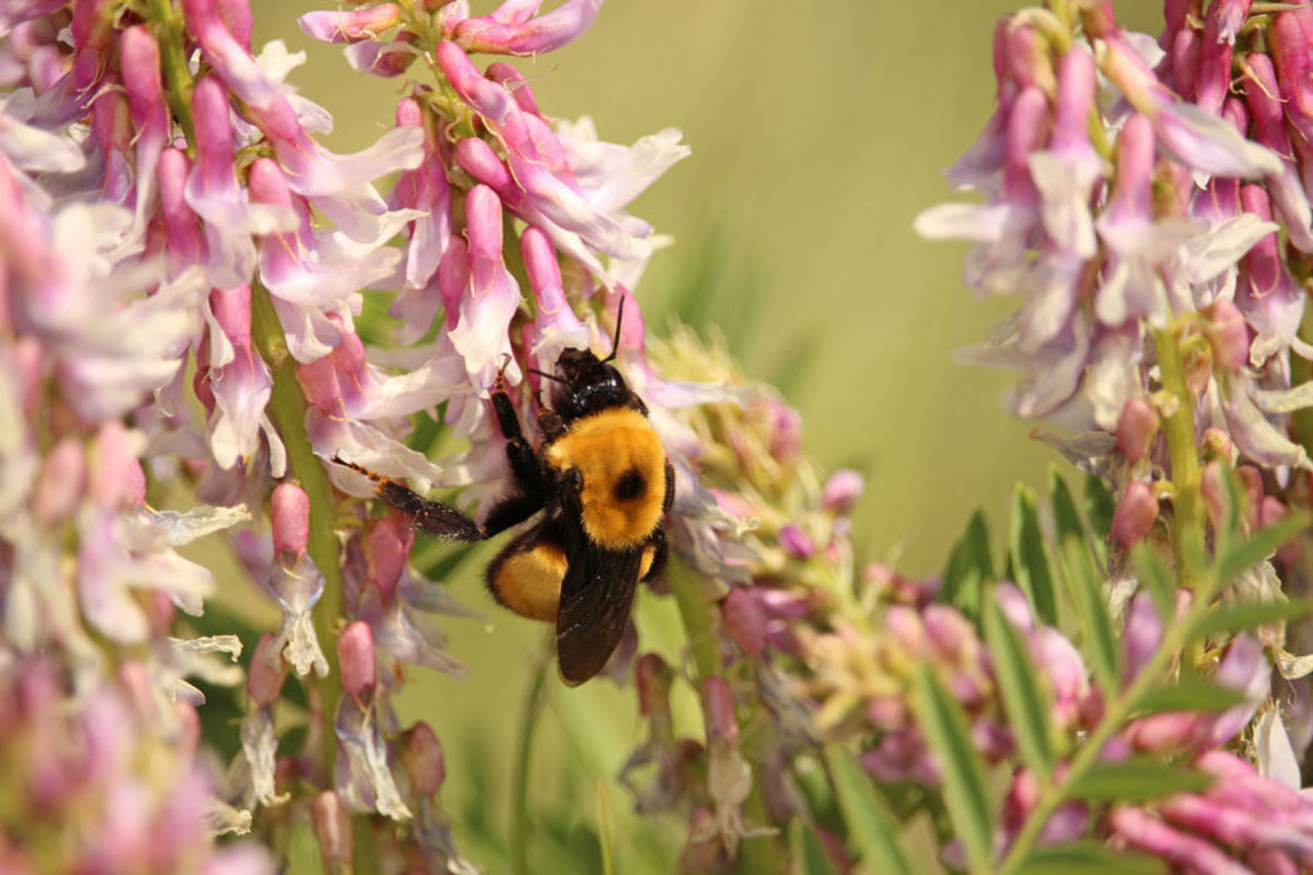 Bumblebee collects pollen from pink flowers Sample