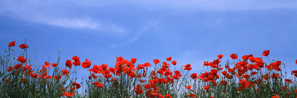 Poppy field in bloom, Tuscany, Italy Wall Mural