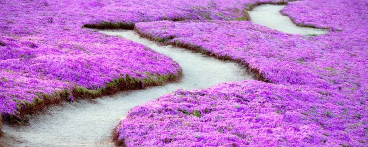 Purple Ice Plant Blossoms Wall Mural Sample