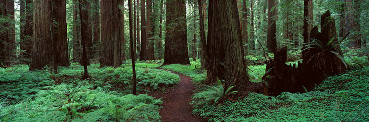 Image for Rolph Grove, Humbolt Redwoods, Ca (1)