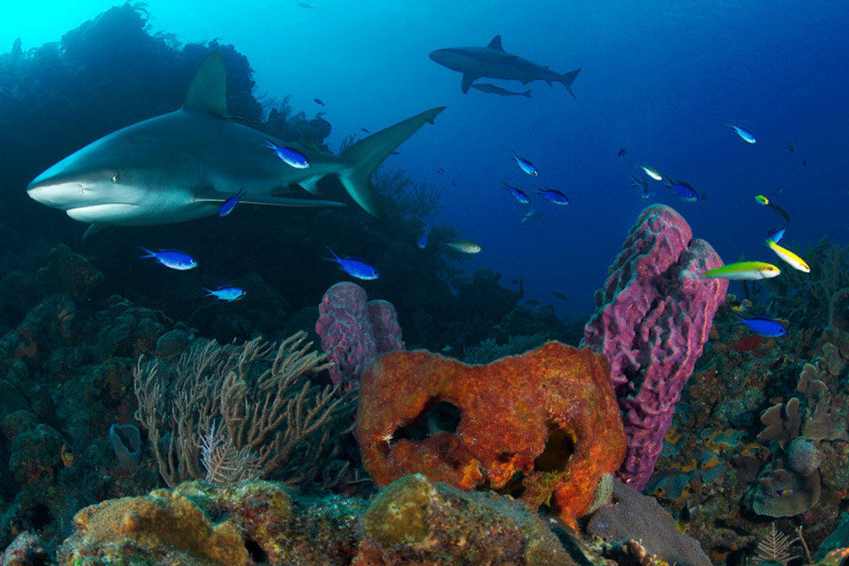 Image for Sharks And Reef, Bahamas