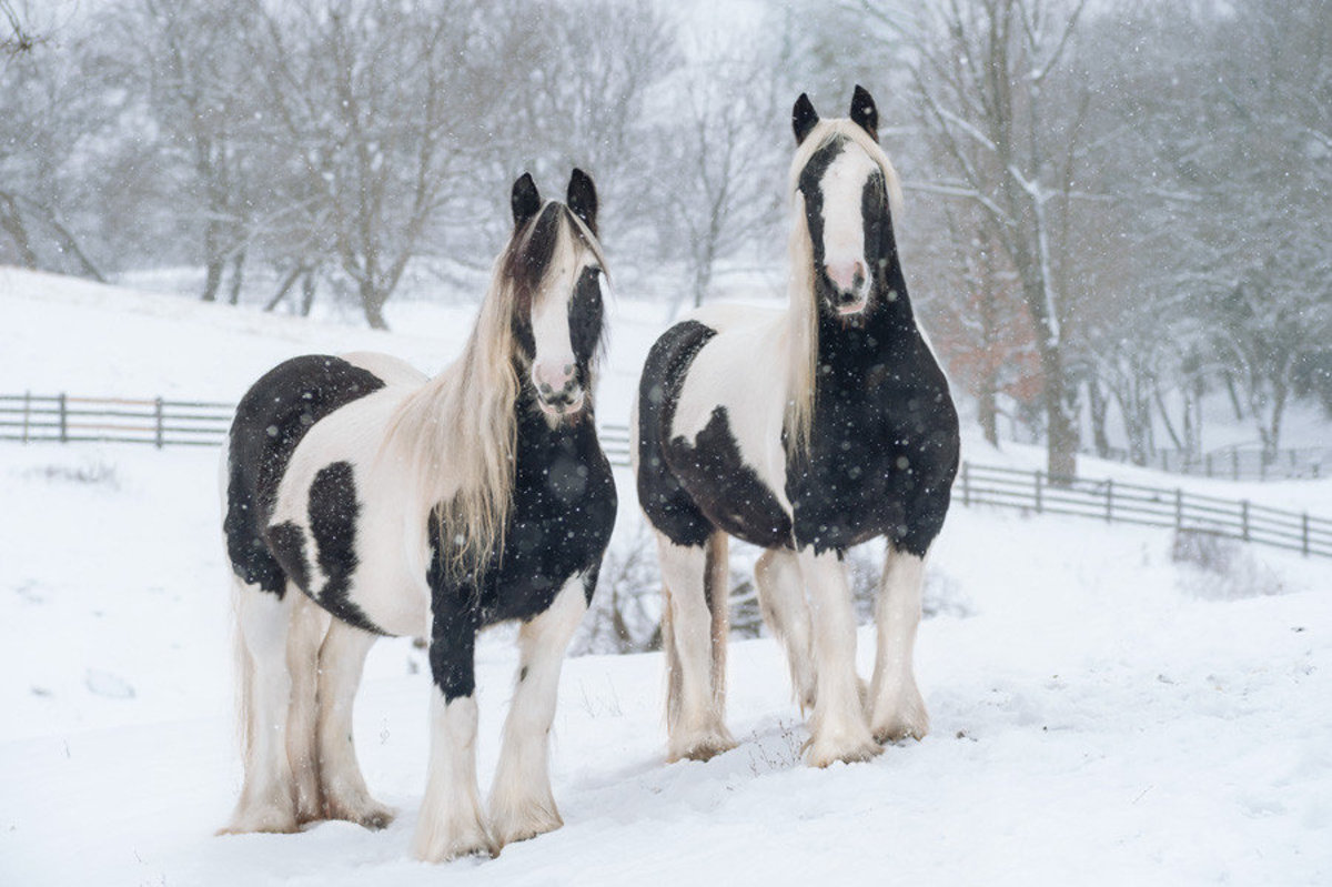 Image for Snowy Gypsy Vanners