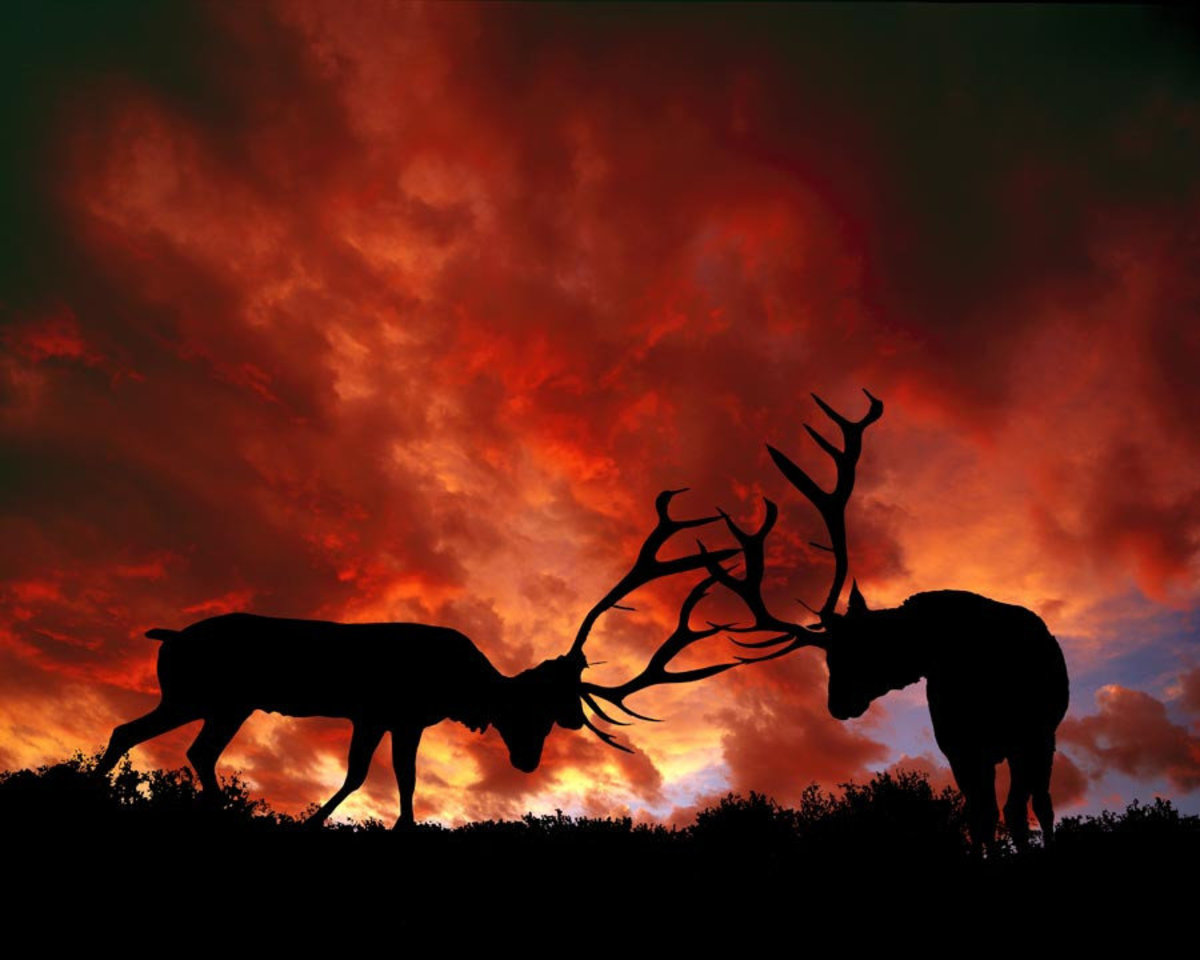 Image for Sparing Elk, Yellowstone National Park Wall Mural