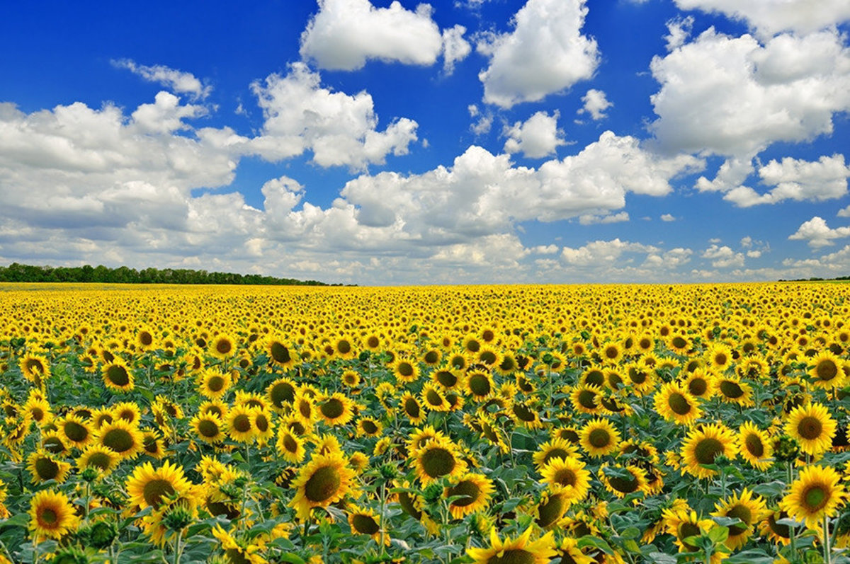 Image for Sunflower Field wall mural