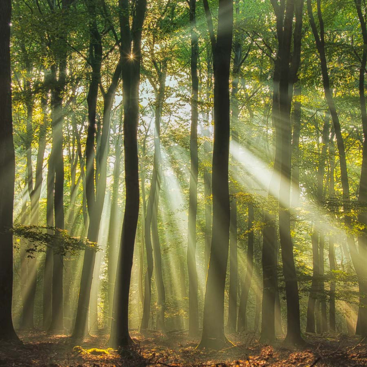 Sunrise shinning through thick green forest