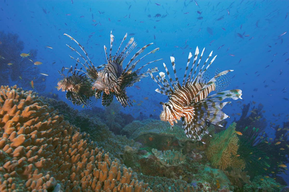 Three Lionfish Over Coral Garden Mural Wallpaper Additional Thumbnail