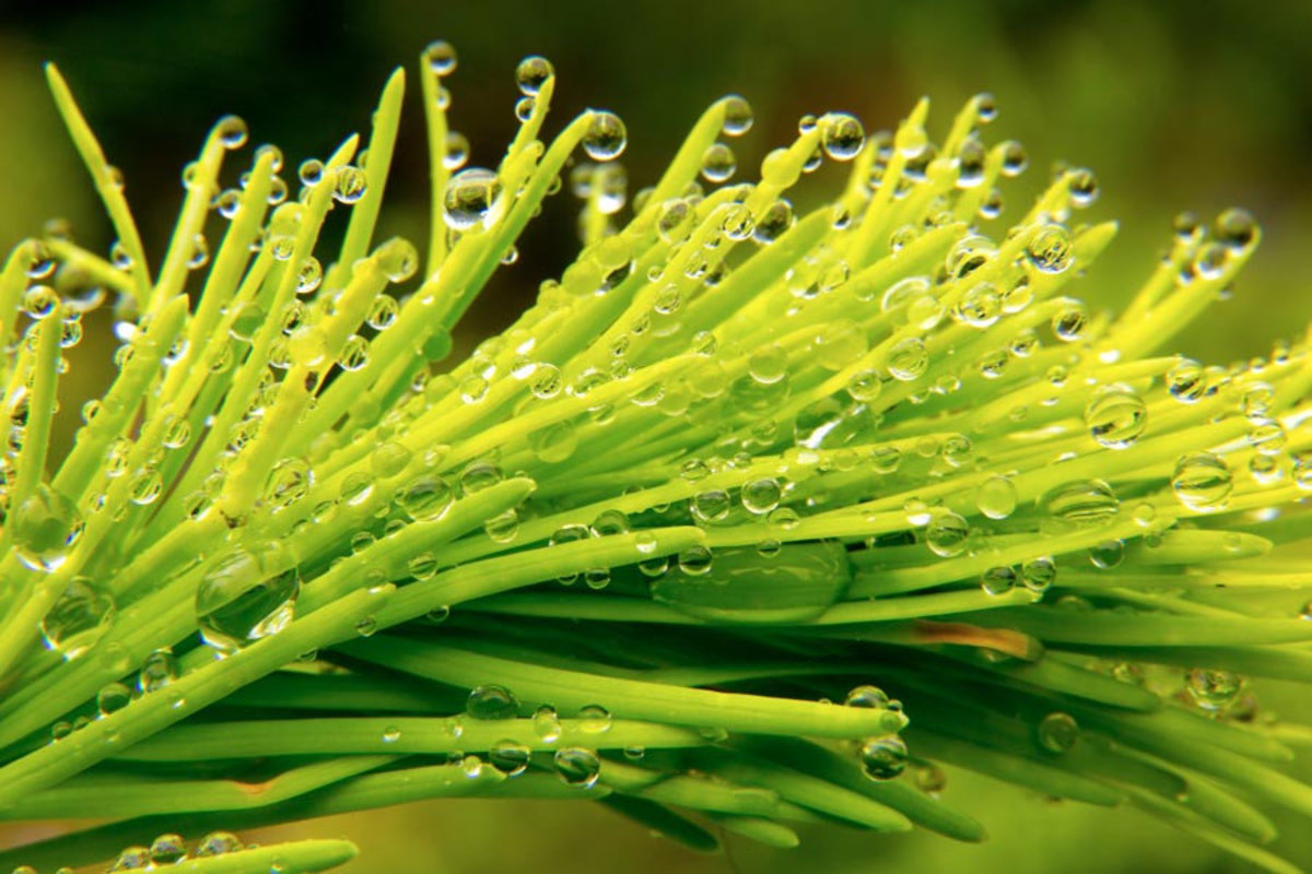 Image for Water Droplets on a Fir Branch